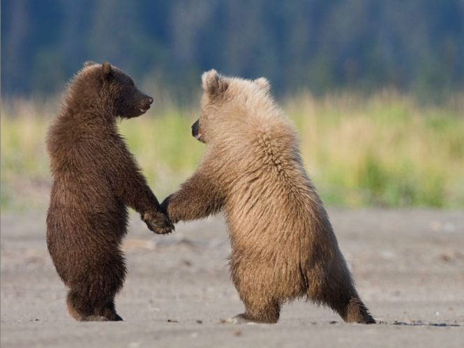 grizzly-bear-cubs_Nature_Photography