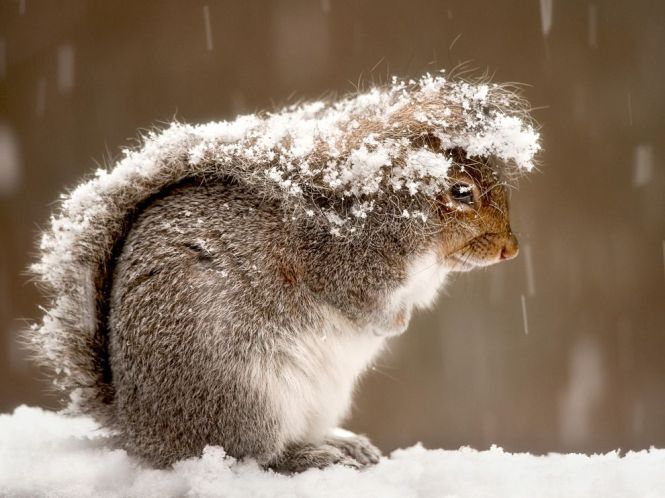squirrel-snow-storm_Nature_photgraphy